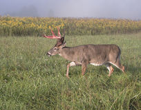 Whitetail buck on the move. Whitetail buck walking through a  field on a foggy morning. The velvet is falling off his antlers Stock Photo