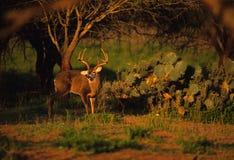 Whitetail Buck Near Cactus Stock Image
