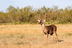 Whitetail buck in opening. Whitetail buck in south Texas royalty free stock photography