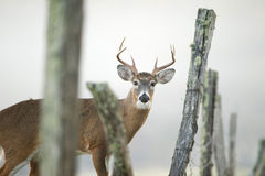 Whitetail buck peeking through a fence Royalty Free Stock Photography