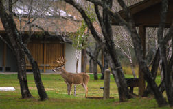 Whitetail Buck in Picnic Area Stock Photos