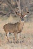 Whitetail buck portrait photograph Stock Photo