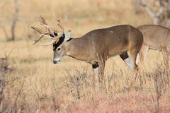 Whitetail Buck preparing to make a scrape Stock Photo