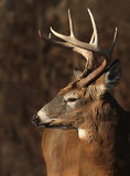 Whitetail buck profile Royalty Free Stock Photography