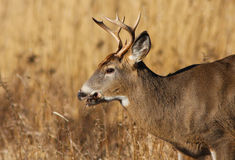 Whitetail buck profile Stock Image