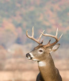 Whitetail buck profile Stock Photos