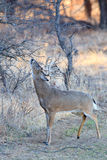 Whitetail buck rubbing his tarsal glands on tree Royalty Free Stock Photo