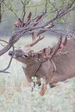 Whitetail buck rubbing velvet off of his antlers Stock Image