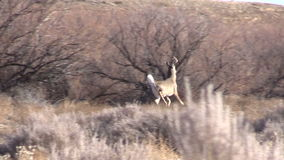 Whitetail Buck Running stock video