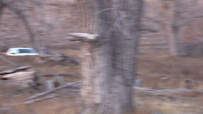 Whitetail Buck Running stock footage