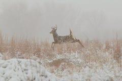 Whitetail Buck Running image stock