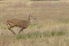 Whitetail Buck Running photos stock