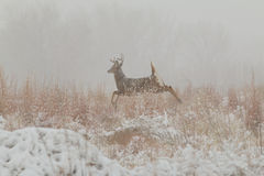 Whitetail Buck Running Stock Image