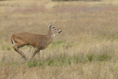 Whitetail Buck Running Stock Photos