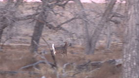 Whitetail Buck Running Off stock footage