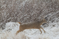 Whitetail Buck in Running Snow Royalty Free Stock Photos
