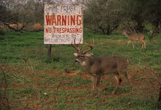 Whitetail Buck Safe at Last. A whitetail buck and doe next to large no trespassing sign Royalty Free Stock Image