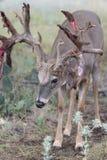Whitetail buck shedding his velvet Royalty Free Stock Image