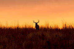 Whitetail Buck Silhouette at Sunrise Stock Photo