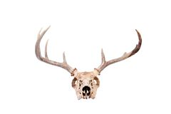 Whitetail Buck Skull Stock Photography