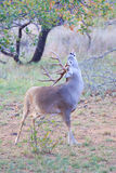 Whitetail buck smelling the air and scratching his back with his antlers Stock Photo