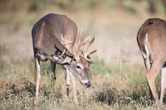 Whitetail buck smelling doe in heat. Whitetail buck with strange rack smelling doe in heat Stock Image