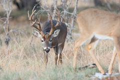 Whitetail buck smelling a doe in heat Stock Photos