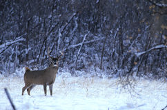 Whitetail Buck in snow Stock Photo