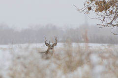 Whitetail Buck in snow. A nice whitetail buck barely visible in a snow covered weed field Royalty Free Stock Photo
