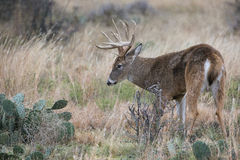 Whitetail buck standing by cactus Royalty Free Stock Photography