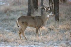 Whitetail Buck Standing i snö Royaltyfri Fotografi