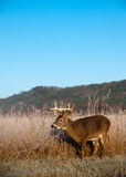 Whitetail buck standing in meadow in the fall Stock Photos