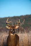 Whitetail buck standing in meadow in the fall Royalty Free Stock Images