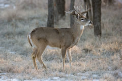 Whitetail Buck Standing na neve Fotografia de Stock Royalty Free