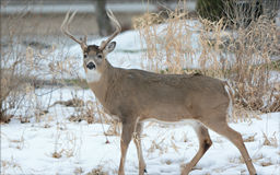 Whitetail Buck Standing In Snow Royalty Free Stock Photography