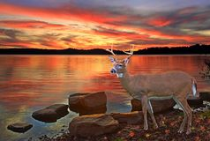 Whitetail buck at Sunset. A beautiful Whitetail buck standing on the shore of Seneca Lake, Ohio at sunset royalty free stock images