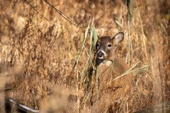 Whitetail buck at sunset. A whitetail buck standing in tall grass at sunset stock photography