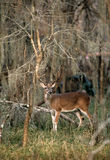 Whitetail Buck in Swamp Royalty Free Stock Photos