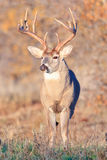 Whitetail Buck with swollen neck in full rut. Swollen neck of whitetail buck in full rut stock images