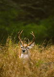 Whitetail Buck in Tall Grass. A nice whitetail buck standing partially hidden in tall grass Stock Photography
