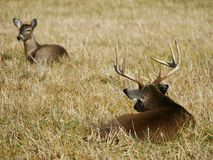 Whitetail buck tending doe. A whitetail buck keeps watch over a doe he is tending Royalty Free Stock Photos