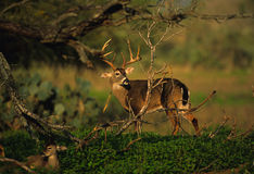 Whitetail Buck Tending a Doe Royalty Free Stock Photos