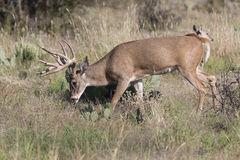 Whitetail buck on trail of doe Stock Photography