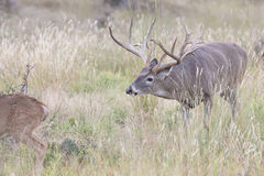 Whitetail buck on trail of whitetail doe Royalty Free Stock Image