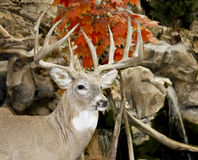 Whitetail buck trophy. Trophy whitetail buck in a fall woods background Royalty Free Stock Photo