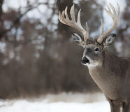 Whitetail buck. Trophy whitetail deer buck close up head and shoulders photo Stock Images