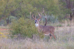 Whitetail buck trying to hide behind bush. Whitetail buck standing still in bush Stock Image