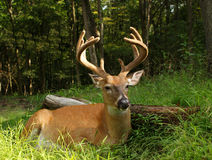 Whitetail Buck In Velvet 10 Point Royalty Free Stock Images