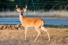 Whitetail Buck in Velvet. Eight point whitetail buck in velvet, picture taken in August, Texas Hill Country royalty free stock photo
