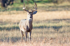 Whitetail buck in very early fall Stock Photo